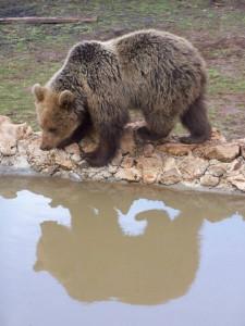 kuterevo-bears